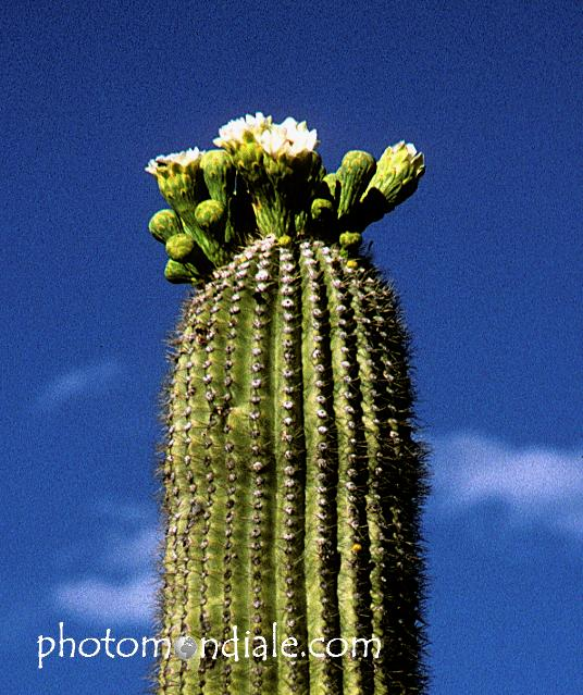 blossoms on top of a saguaro arm