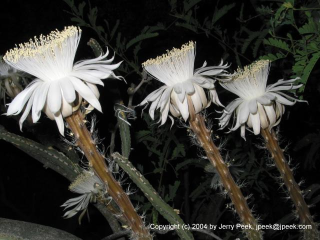 Three Night-Blooming Cereus