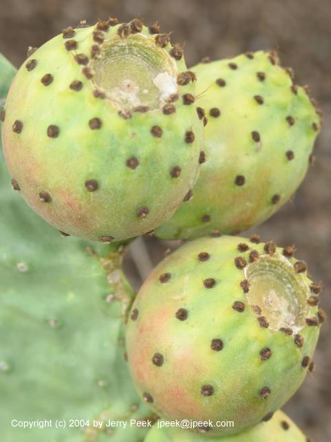 Prickly pear close-up