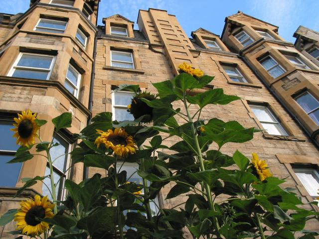 Sunflowers in front of an apartment block