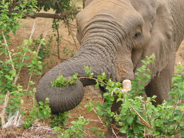 Elephant feeding just outside the fence at Letaba rest camp