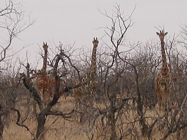 Giraffe behind bare-branched trees
