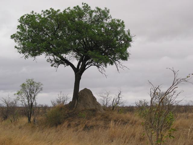 Tree over a termite mound