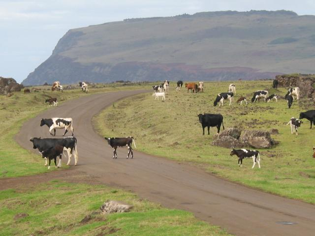 Cattle cross the road along the south coast
